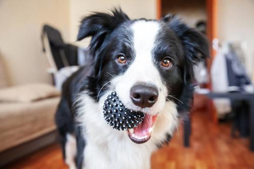 cane-bianco-e-nero-con-palla-in-bocca