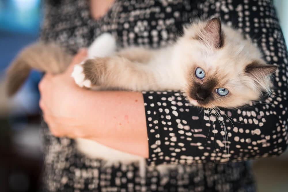 cucciolo-di-ragdoll-in-braccio-a-ragazza