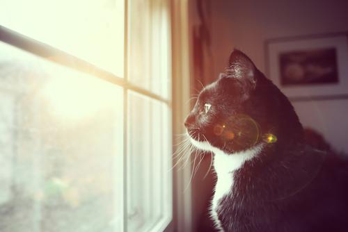 gatto-bianco-e-nero-solitario-osserva-fuori-la-finestra