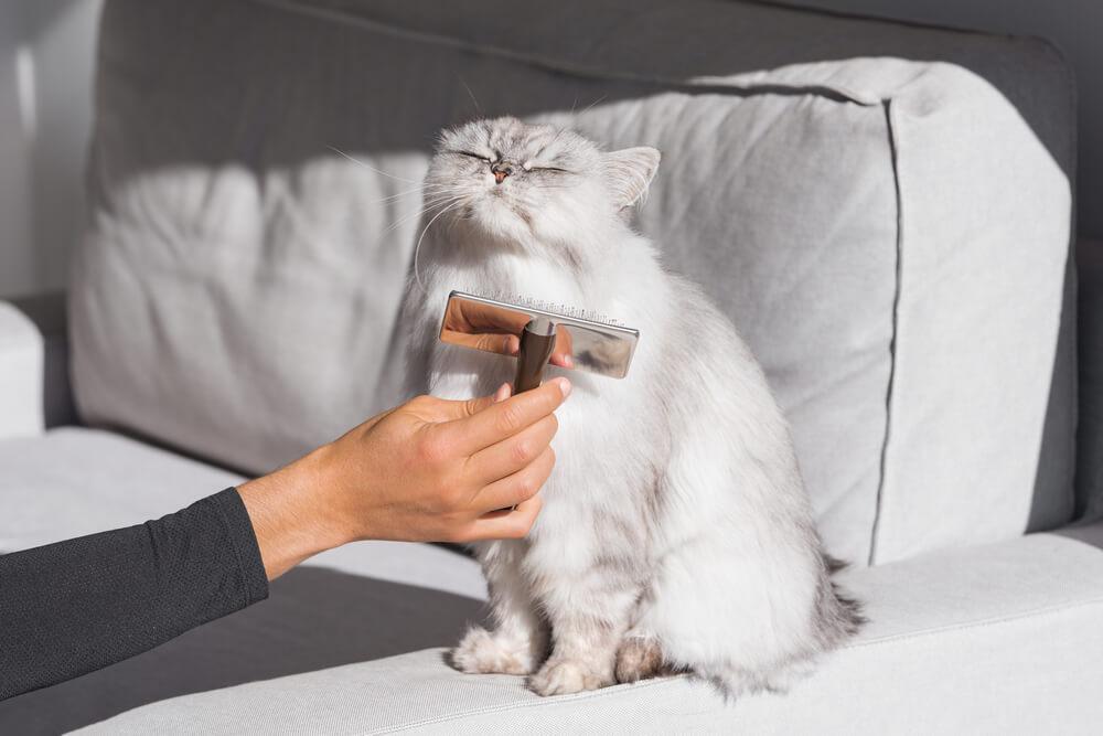 gatto-persiano-viene-spazzolato