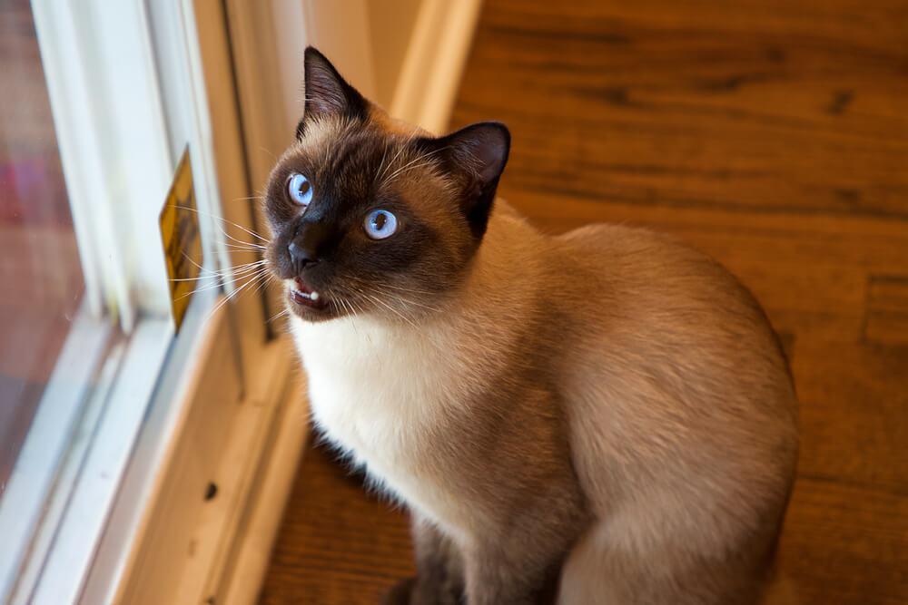 gatto-siamese-aspetta-i-padroni-davanti-la-porta