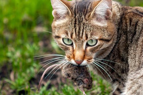gatto-cacciatore-con-topo-in-bocca