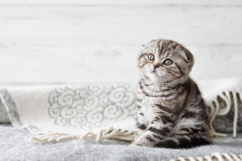 scottish-fold-cucciolo-seduto