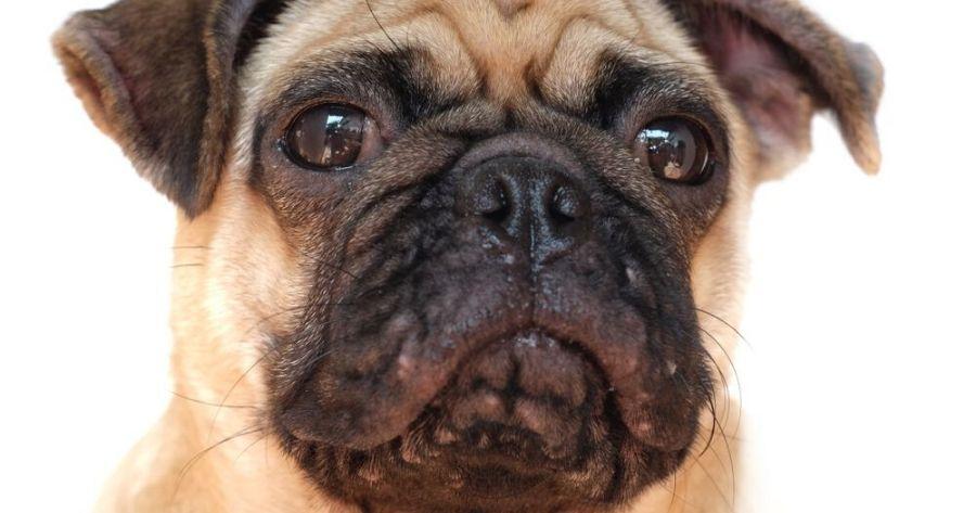 Carlino affetto da acne canina