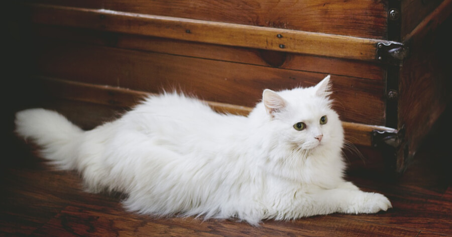gatto bianco con cassa di legno