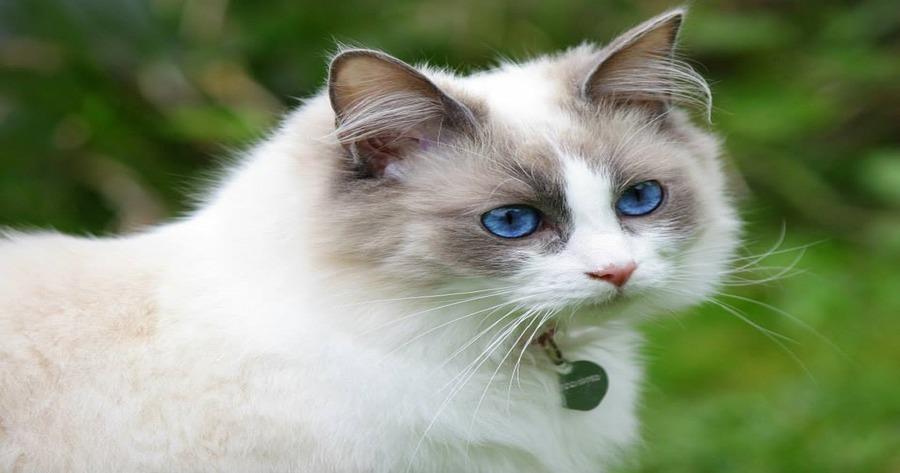 ragdoll-con-collare-blu