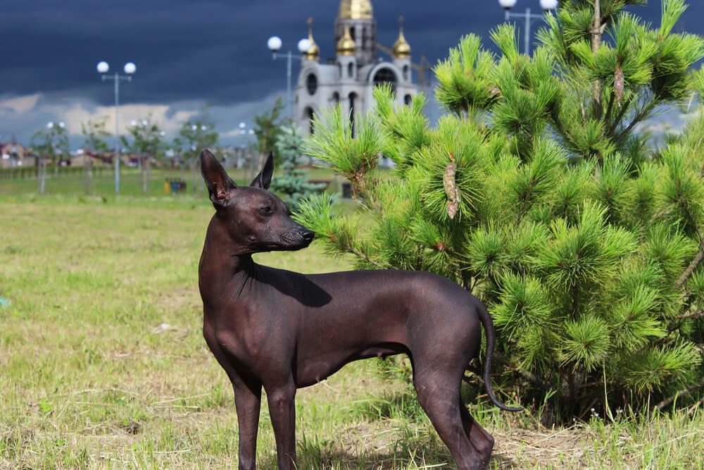 Cane-nudo-messicano-o-Xoloitzcuintle