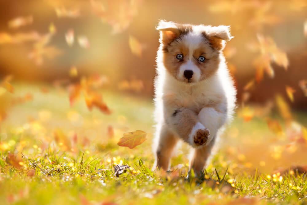 australian-shepherd-cucciolo-corre-in-un-campo
