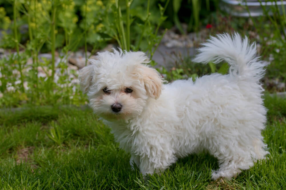 cane-bolognese-bianco