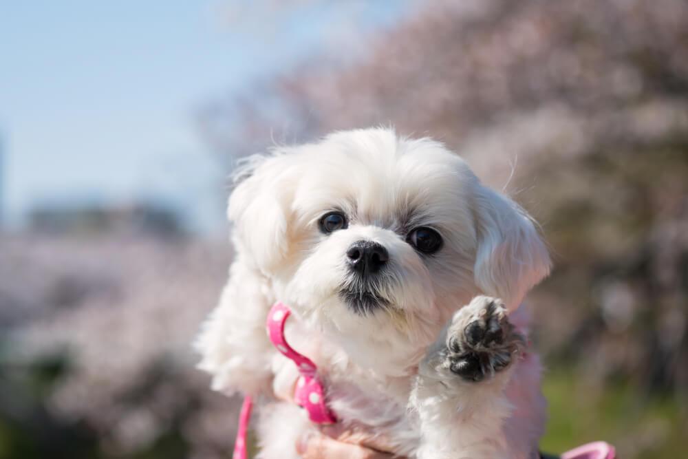cane-morkie-bianco