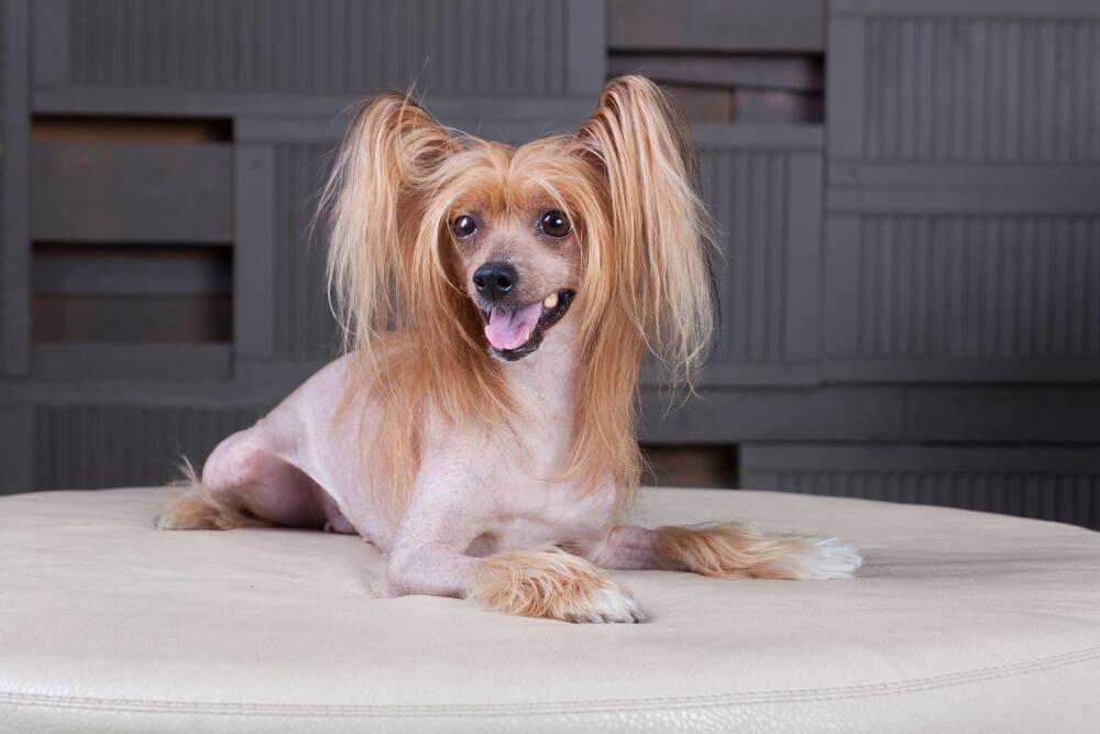 chinese-crested-dog-è-una-delle-razze-di-cani-pigri