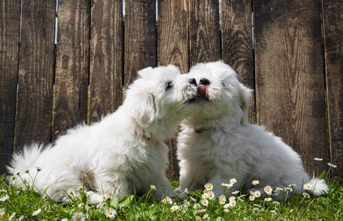 coton-de-tulear-cuccioli-bianchi
