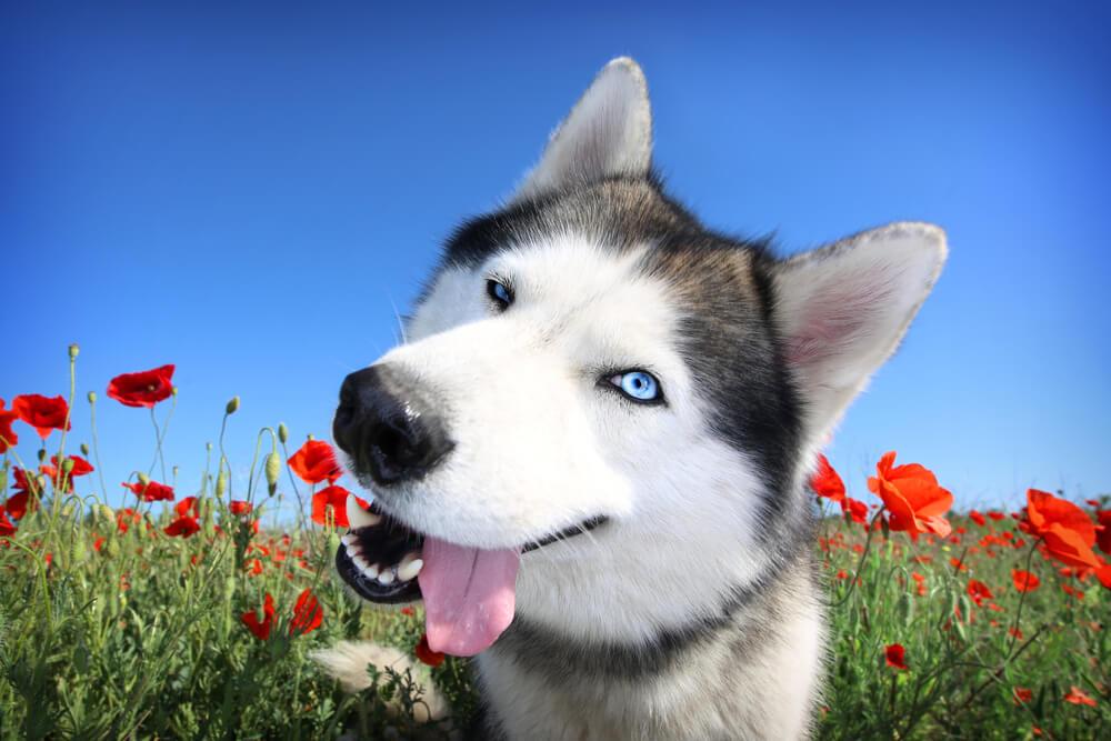 husky-malizioso-in-un-campo-di-papaveri