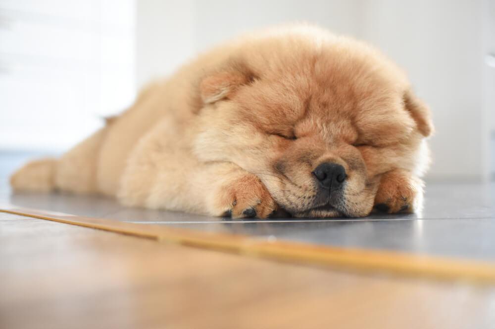 il-chow-chow-è-un-cane-molto-pigro