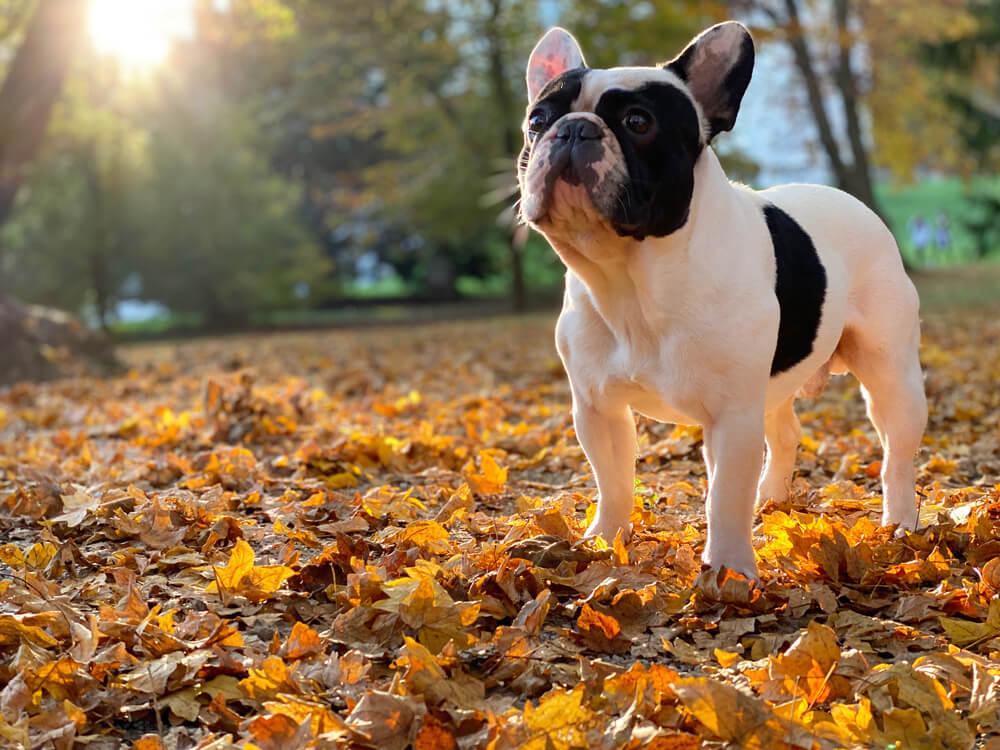 bulldog frances hembra jardin otoño