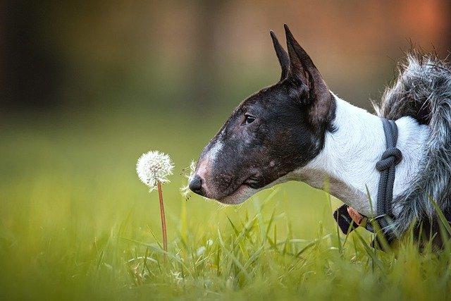 nomi-per-bull-terrier-bianco-e-nero