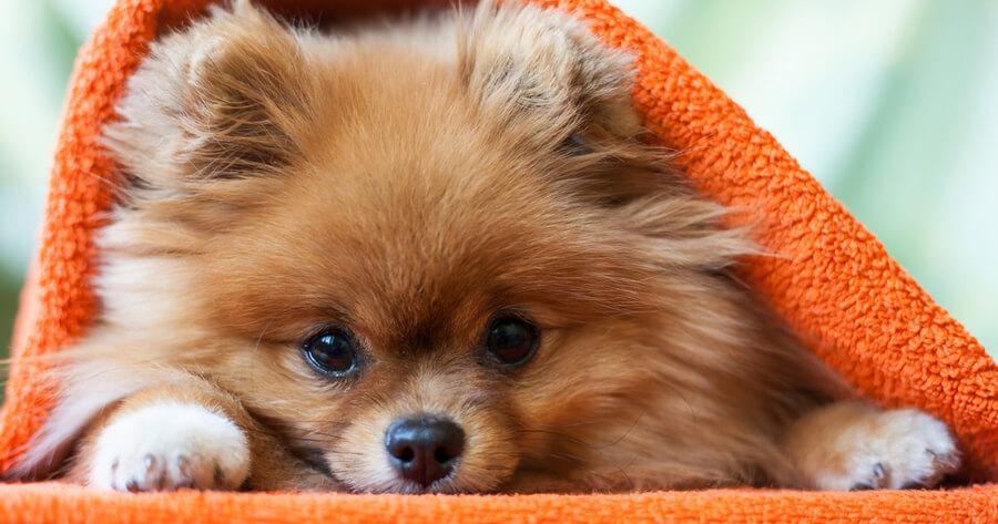 Pomerania rosso cucciolo