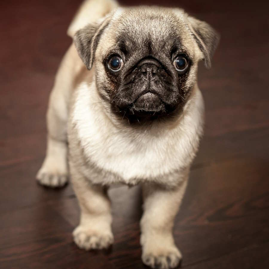 cane che fissa