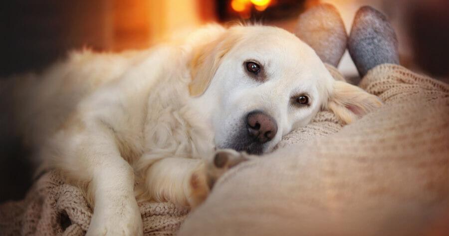 cane-annoiato