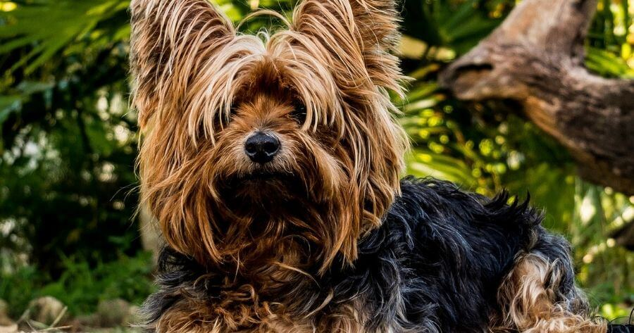 yorkshire terrier cane piccolo