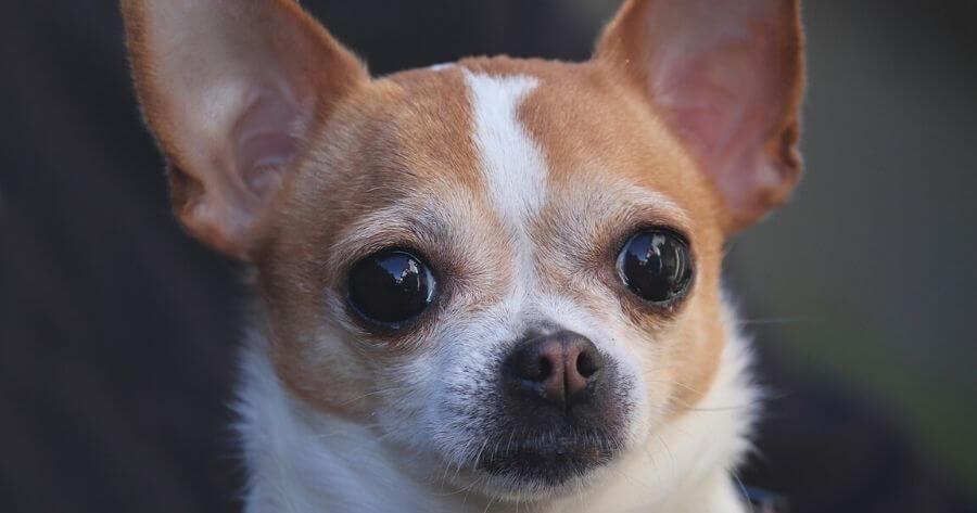 Il Chihuahua è il toy per eccellenza