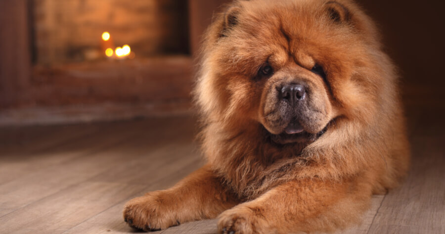chow chow rosso