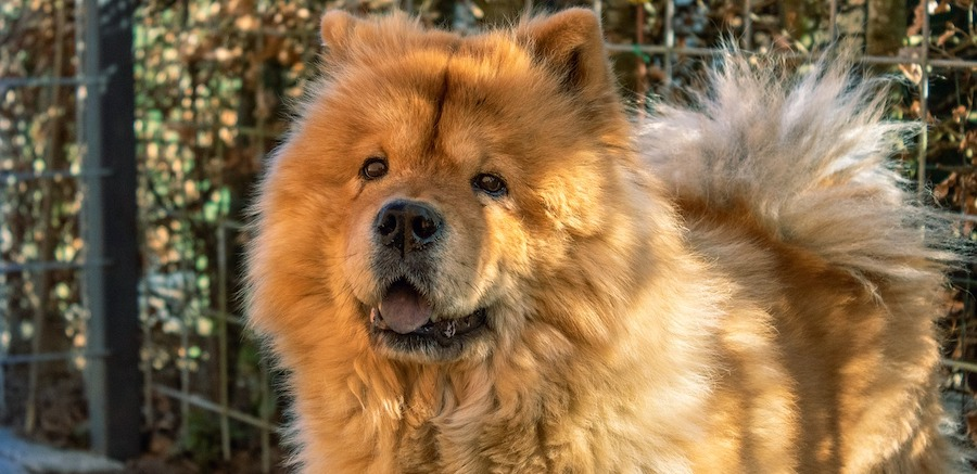 chow chow in primo piano