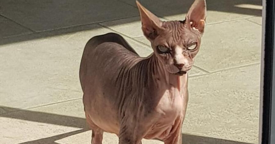 djoon-gatto-sphynx-davanti-la-porta