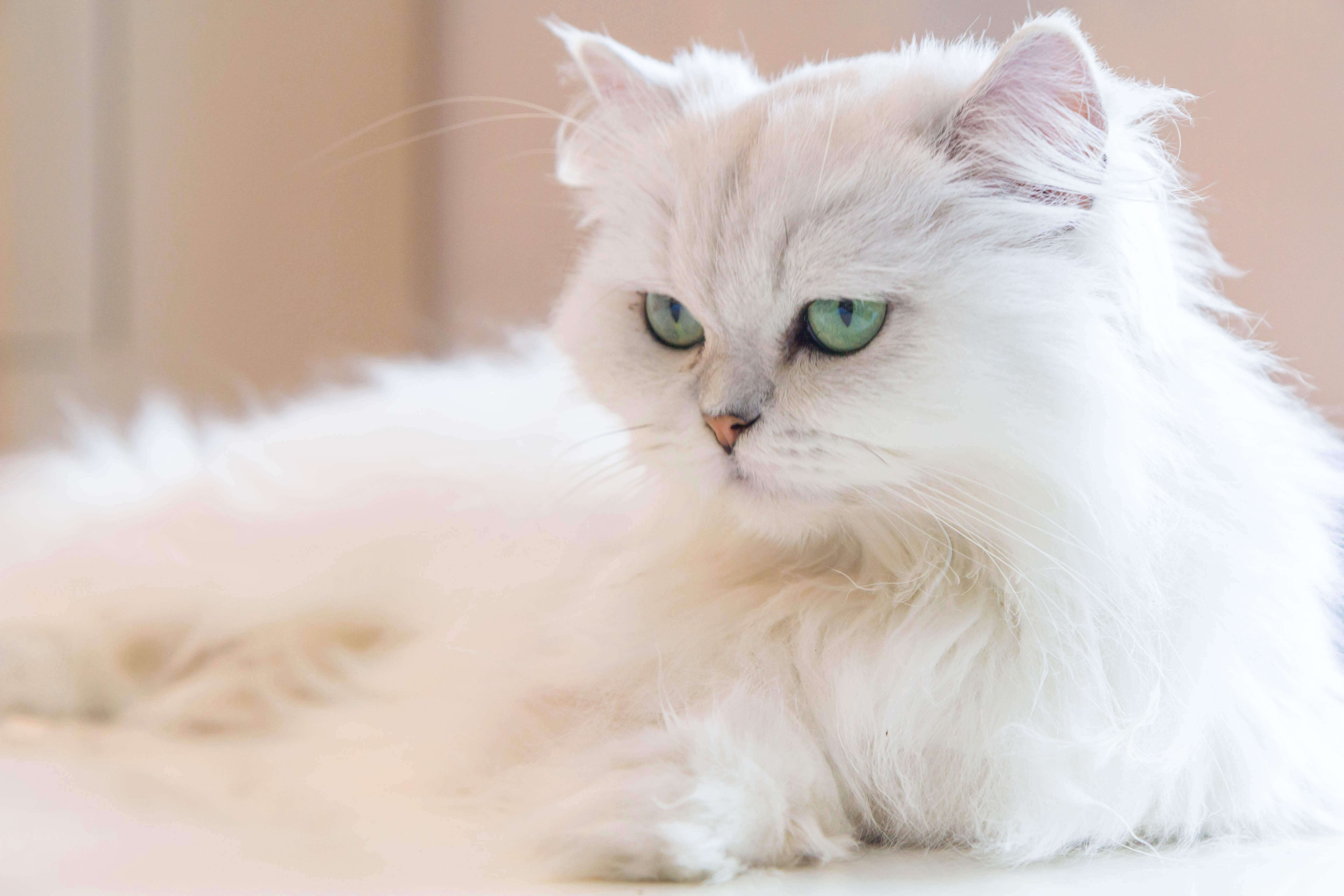 gatto-persiano-bianco