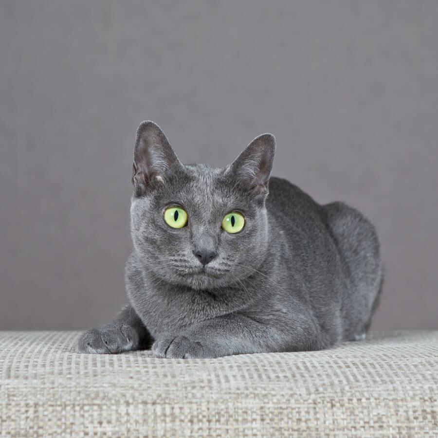 gatto-di-razza-korat