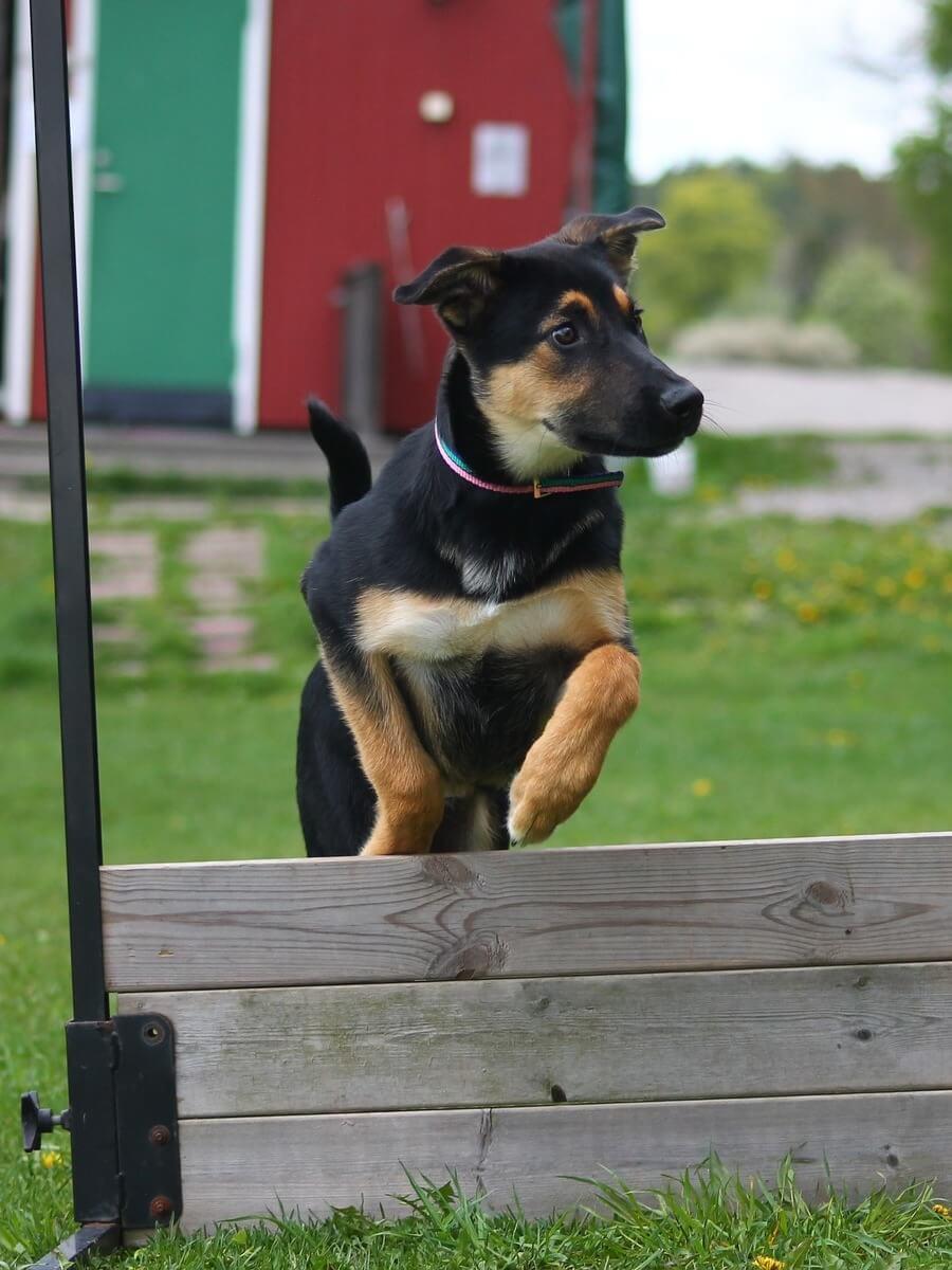 muro-agility-dog