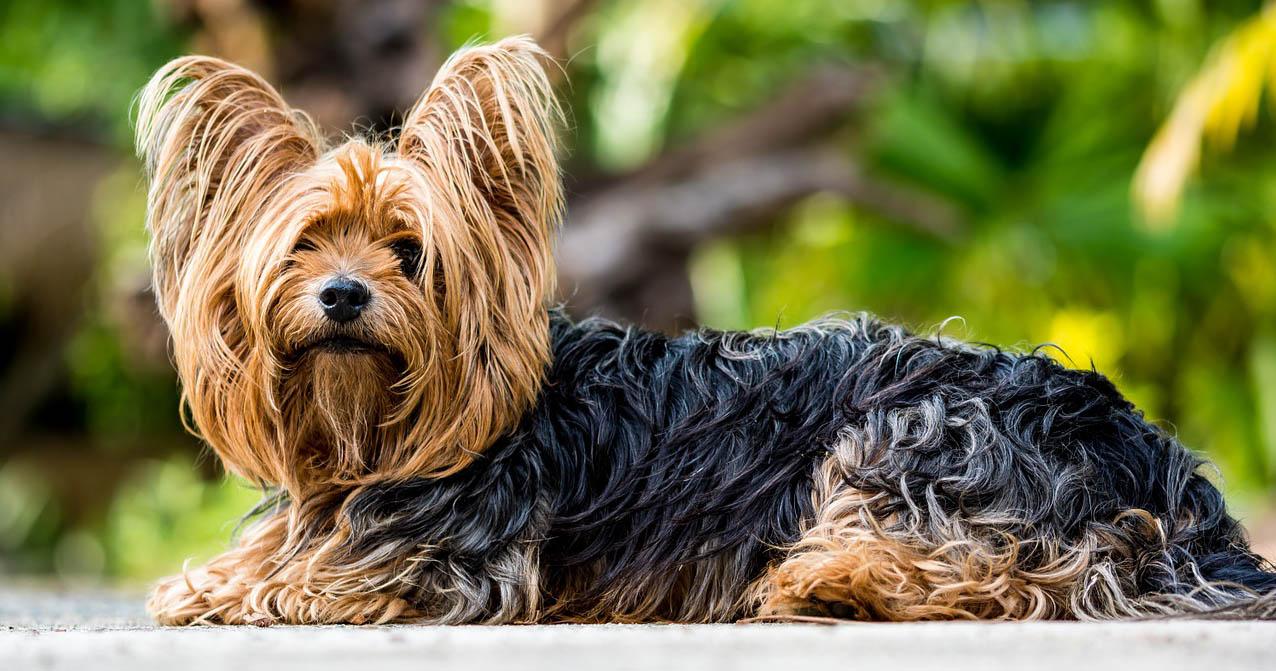 Lo Yorkshire Terrier è vitare e giocherellone