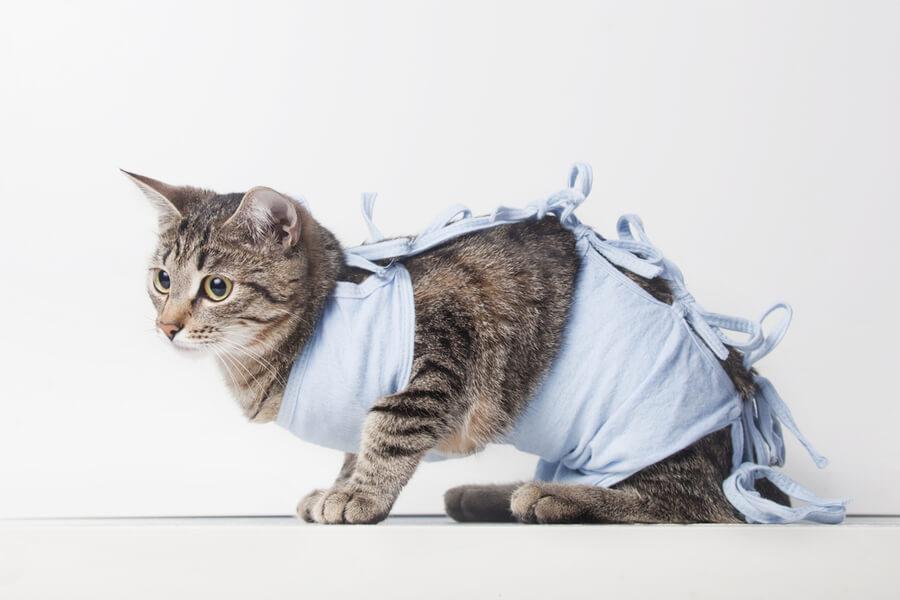 wysterylizowany kot