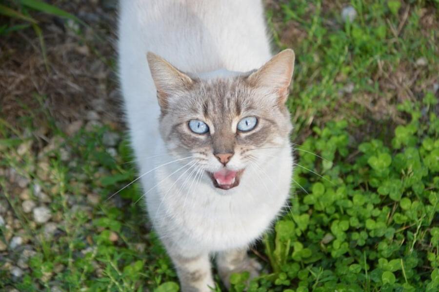 kot miauczy sennik