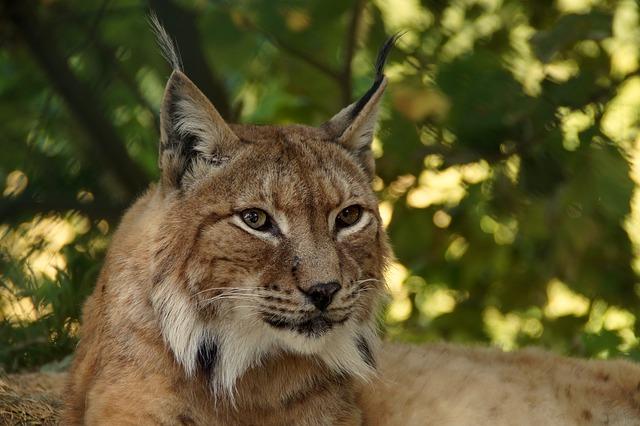 dzikie koty w polsce - ryś