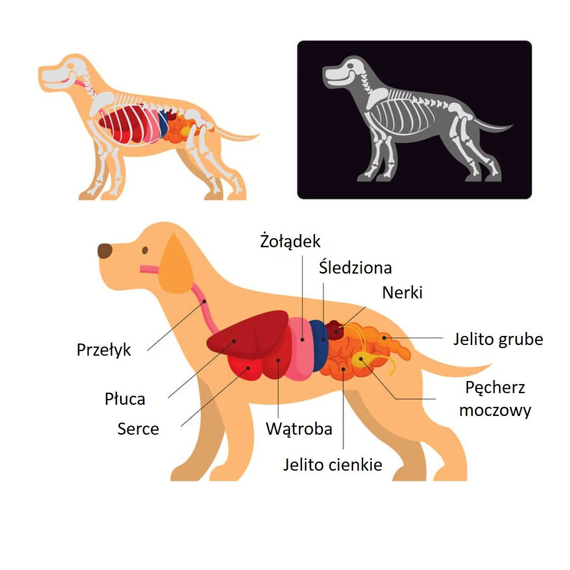 anatomia psa