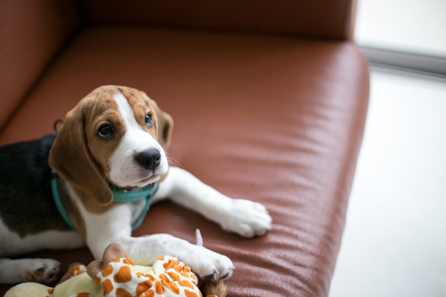 beagle na kanapie