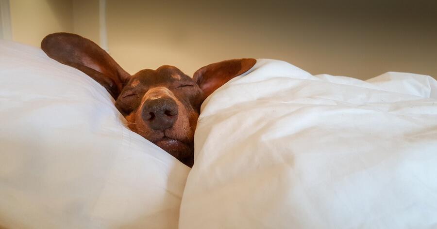 jamnik w łóżku