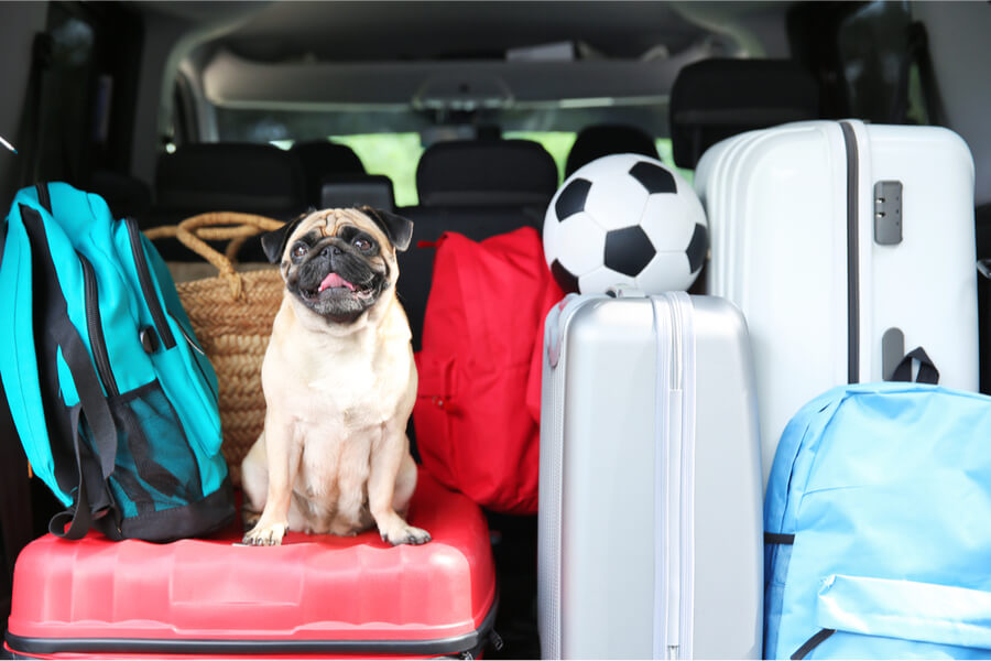 pies w bagażniku