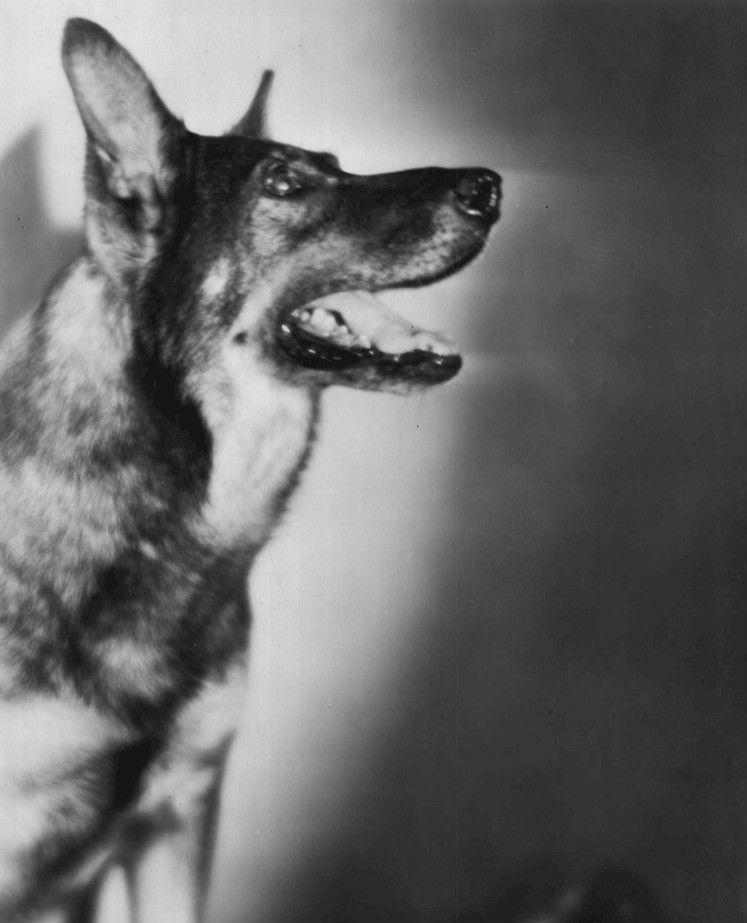 owczarek niemiecki o imieniu Rin Tin Tin