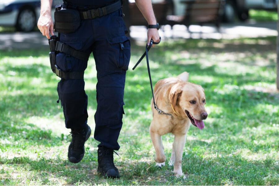 labrador z policjantem
