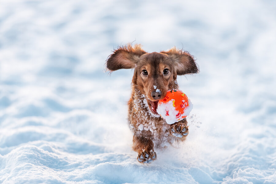jamnik z piłką zimą