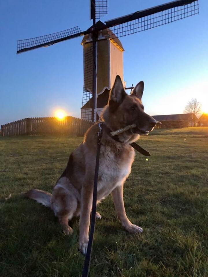 niemiecka rasa psa owczarek niemiecki