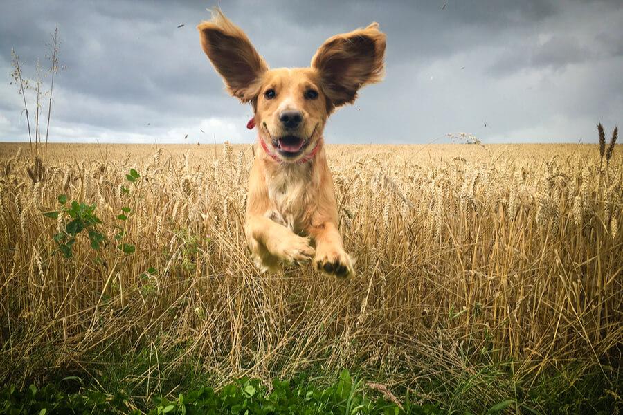 biegnący pies w polu pszenicy