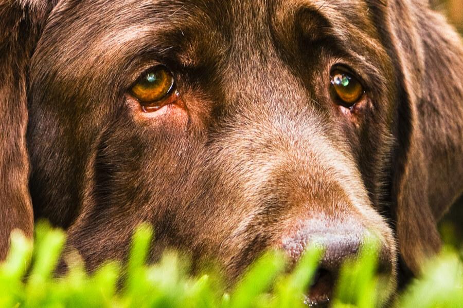 pies płacze