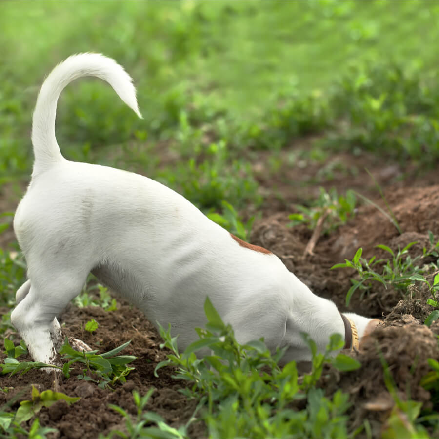 Pies kopie dół