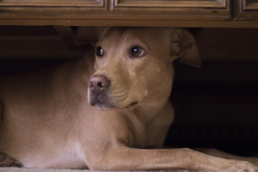 Pies się boi i chowa pod szafą