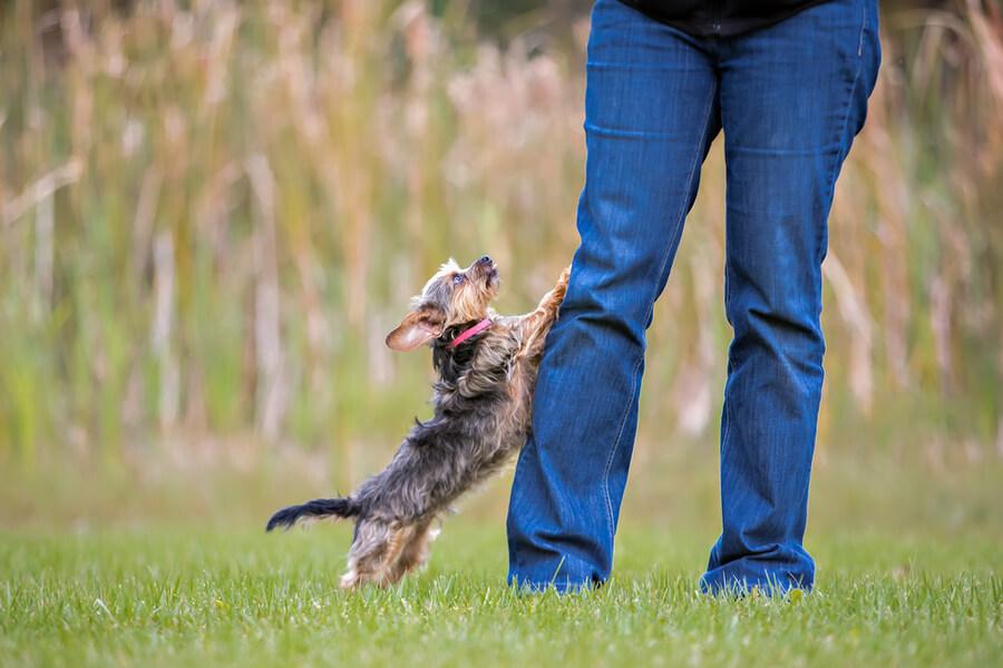 pies skacze na opiekuna