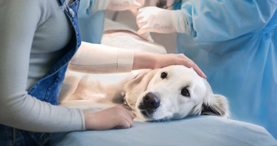 zabieg sterylizacji psa