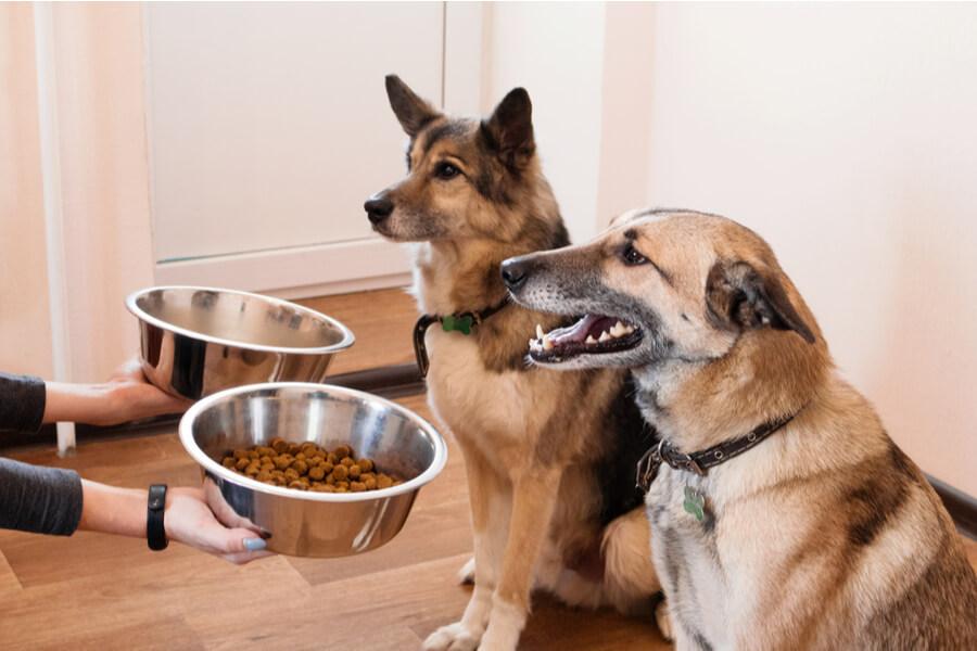 żywienie psa